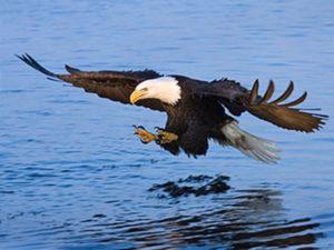 Eagle on Mississippi River near Genoa, Wisconsin